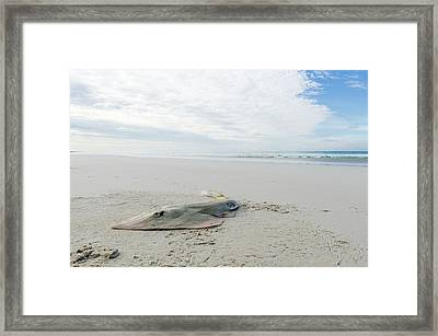 Lesser Guitarfish Caught By Fisherman Framed Print by Peter Chadwick
