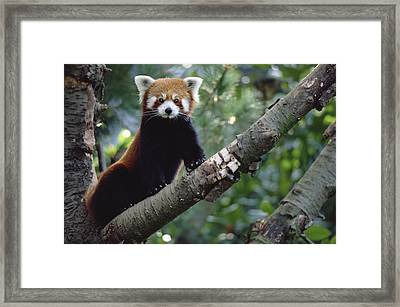Lesser Panda China Framed Print by Gerry Ellis