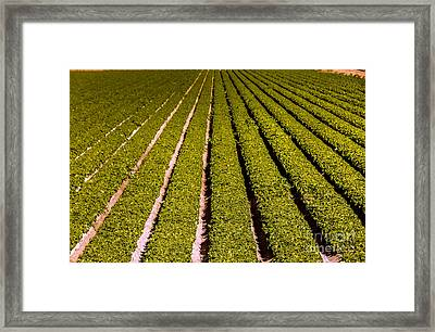 Lettuce Farming Framed Print by Robert Bales
