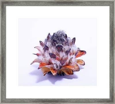 Leucadendron Album Open Seed Head Framed Print by Cordelia Molloy