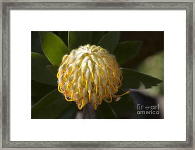 Leucospermum  -   Yellow Pincushion Protea Framed Print by Sharon Mau