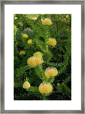 Leucospermum Cordifolium 'yellow Bird' Framed Print by Adrian Thomas