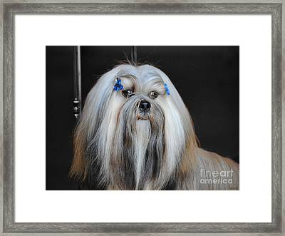 Lhasa Apso Framed Print by Jai Johnson