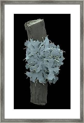 Lichen With Cyanobacteria Framed Print by Karl Gaff