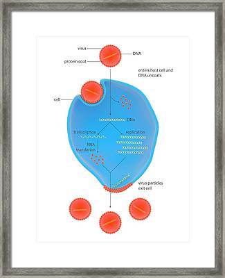 Life Cycle Of A Virus Framed Print by Science Photo Library