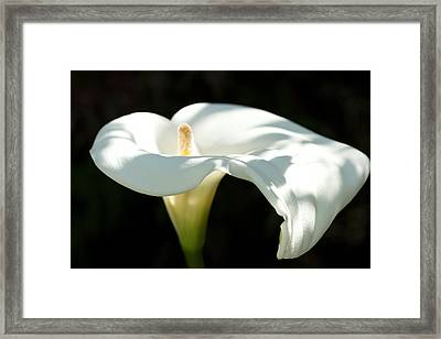 Lighted Lilly Framed Print by Bonita Hensley