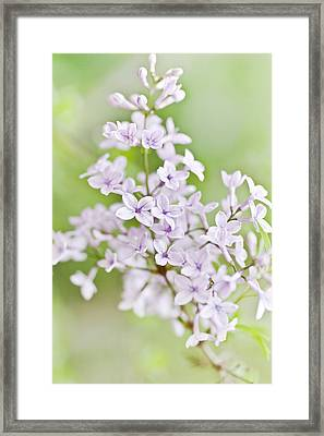 Lilac Blossoms Framed Print by Frank Tschakert