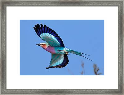Lilac-breasted Roller In Flight Framed Print by Johan Swanepoel