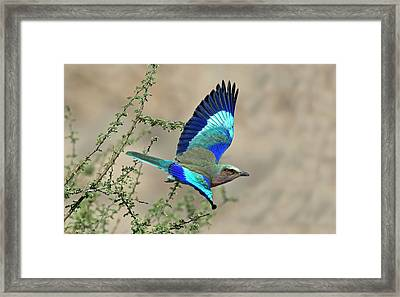 Lilac-breasted Roller In Flight Framed Print by Tony Camacho