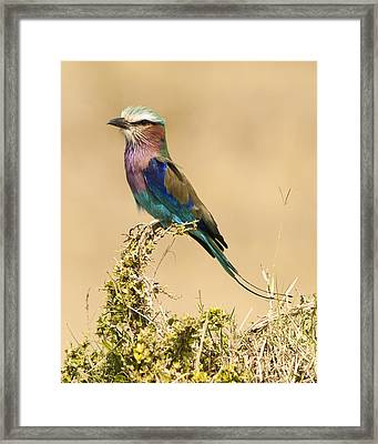 Lilac Breasted Roller Framed Print by Phyllis Peterson