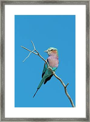 Lilac-breasted Roller Framed Print by Tony Camacho