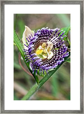 Lilikoi Flower Framed Print by Dan McManus