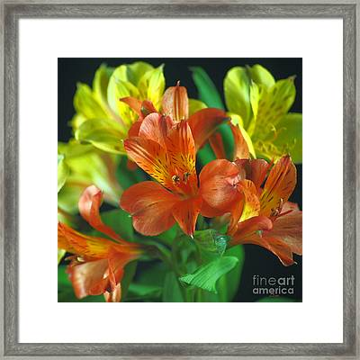 Lillies Galore Framed Print by Wobblymol Davis