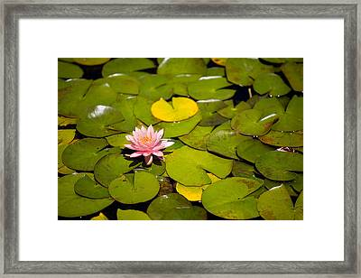 Lilly Pond Pink Framed Print by Peter Tellone