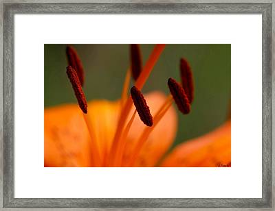 Lily Framed Print by Carol Lynch