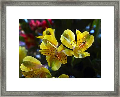 Lily Of The Incas Framed Print by Kurt Van Wagner