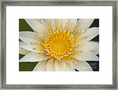 Lily Of The Lake Framed Print by Heiko Koehrer-Wagner
