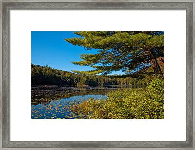 Lily Pads On Cary Lake Framed Print by David Patterson