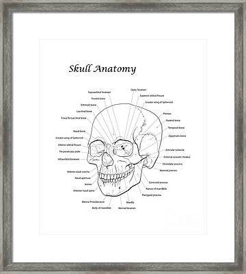 Line Illustration Of A Human Skull Framed Print by Nicholas Mayeux
