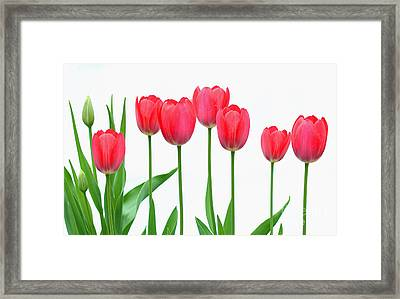 Line Of Tulips Framed Print by Steve Augustin
