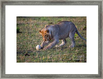 Lion Cub Playing With Ostrich Egg Framed Print by Greg Dimijian