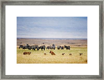 Lion Family Panthera Leo Looking Framed Print by Panoramic Images