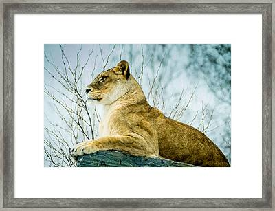 Lion Framed Print by Mirra Photography