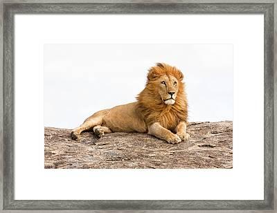 Lion Panthera Leo Framed Print by Photostock-israel