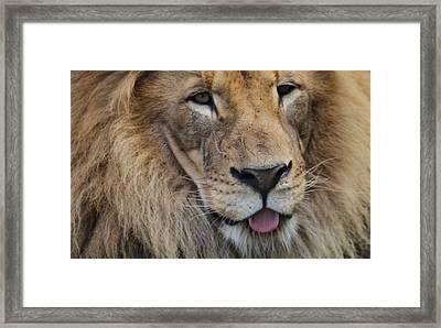Lion Portrait Panting Framed Print by Dan Sproul
