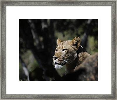 Lion Watching Framed Print by Keith Lovejoy