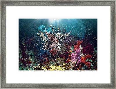 Lionfish And Sweepers With Soft Coral Framed Print by Georgette Douwma