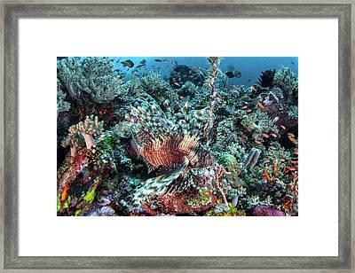 Lionfish Framed Print by Ethan Daniels