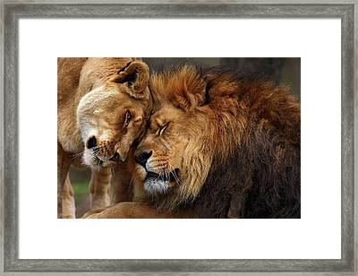 Lions In Love Framed Print by Emmanuel Panagiotakis