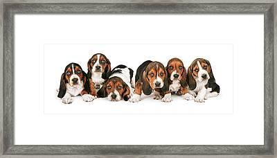 Litter Of Basset Hound Puppies Framed Print by Susan  Schmitz