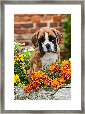 little Boxer Puppy in flowers Framed Print by Doreen Zorn