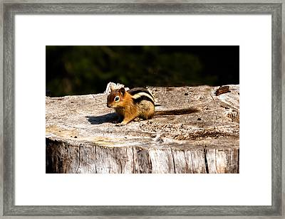 Little Chipmunk Framed Print by Robert Bales