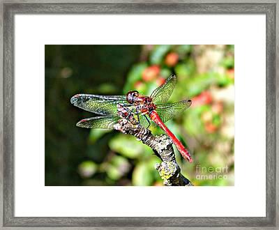 Little Dragonfly Framed Print by Morag Bates
