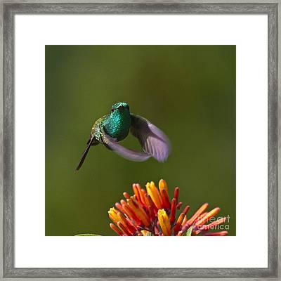 Little Hedgehopper Framed Print by Heiko Koehrer-Wagner