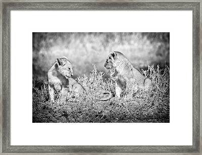Little Lion Cub Brothers Framed Print by Adam Romanowicz