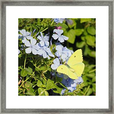 Little Yellow Butterfly On Phlox II Framed Print by Suzanne Gaff
