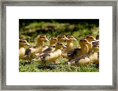 Yellow Muscovy Duck Ducklings Running Fast  Framed Print by Arletta Cwalina