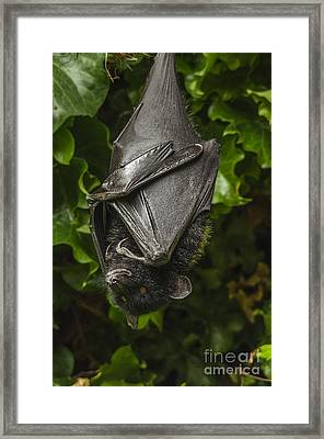Livingstone's Fruit Bat Framed Print by Darren Wilkes