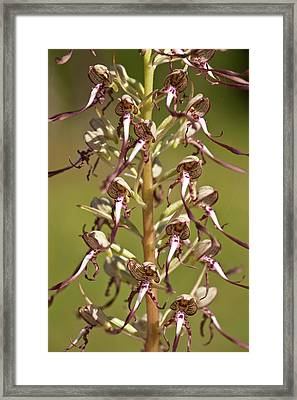 Lizard Orchid (himantoglossum Hircinum) Framed Print by Bob Gibbons