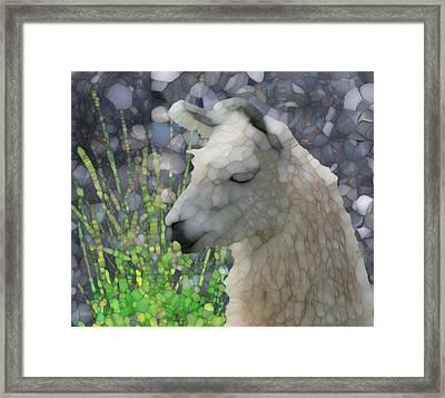 Llama Framed Print by Jack Zulli
