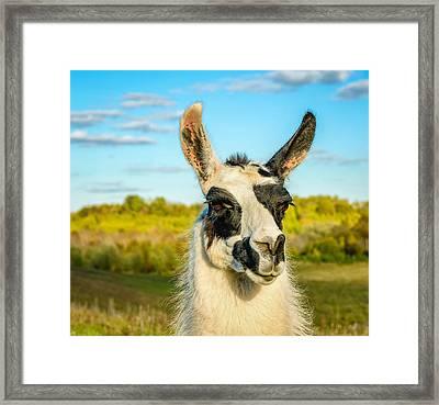 Llama Portrait Framed Print by Steve Harrington