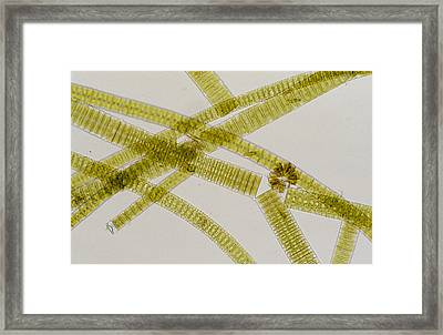 Lm Of The Colonial Diatom Fragillaria Sp. Framed Print by Power And Syred