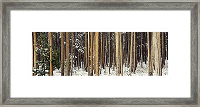 Lodgepole Pines And Snow Grand Teton Framed Print by Panoramic Images