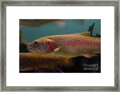 Lohontan Cutthroat Trout Framed Print by Ron Sanford
