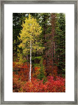 Lone Aspen In Fall Framed Print by Chad Dutson