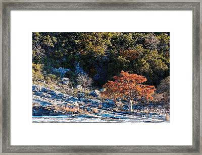 Lone Bald Cypress At Pedernales Falls State Park - Johnson City Texas Hill Country Framed Print by Silvio Ligutti